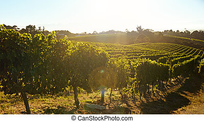 Rows of vines bearing fruit in vineyard with sun flare Field...