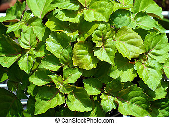looking down on patchouli plant leaves - A lush green...