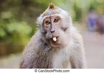 Long tailed Macaque monkey on Bali, Indonesia