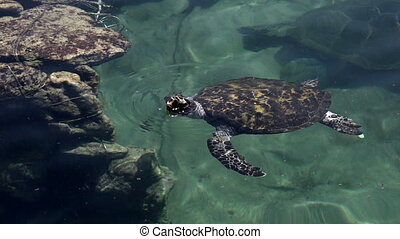 Green sea turtle in Eilat Israel - Green Sea Turtle In Green...