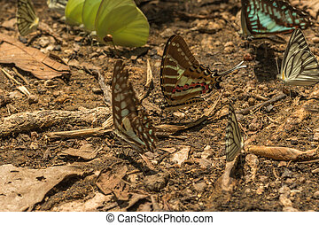 Butterflies feeding on minerals on the ground near river in...