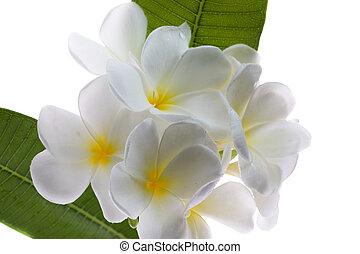 Frangipani Lan thom flower - Beautiful white flower in...