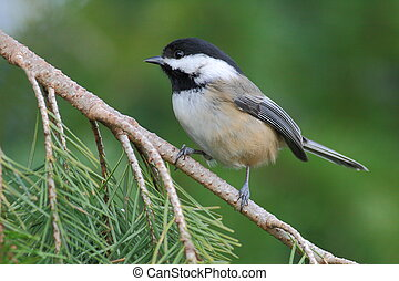 Black Capped Chickadee - A Black Capped Chickadee perched on...