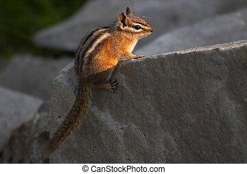 Yellow Pine Chipmunk - A Yellow Pine Chipmunk perched on a...