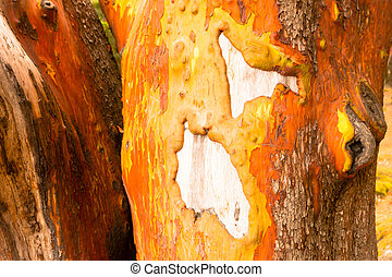 Pacific Madrona Madrone Arbutus Tree Trunk Bare Wood Gnarly...