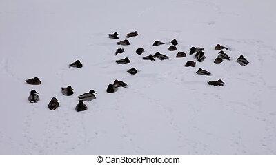 ducks on snow lake