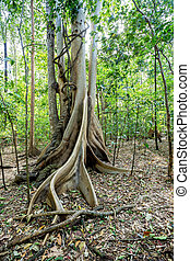 massive tree is buttressed by roots Tangkoko Park - Massive...
