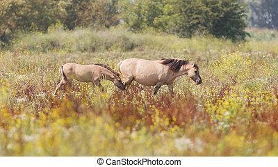 Konik horses walking in the dutch landscape