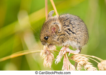 Field mouse on grass