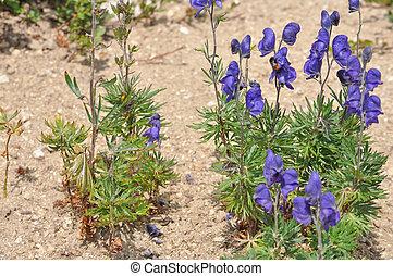 Aconitum napellus flower - Monks Hood Aconitum napellus aka...