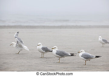 Seagulls on foggy beach - Several seagulls standing on sandy...