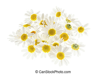 Chamomile flowers - Pile of fresh medicinal roman chamomile...