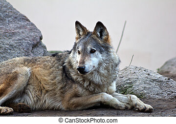 Grey Wolf - Wolf pack on cool, fall morning Soft focus with...