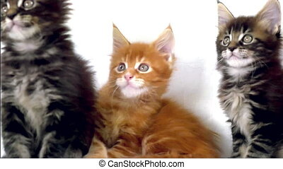 Funny Maine coon cats move their heads back and forth on...