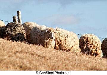 Flock of sheep in the Carpathians mountains