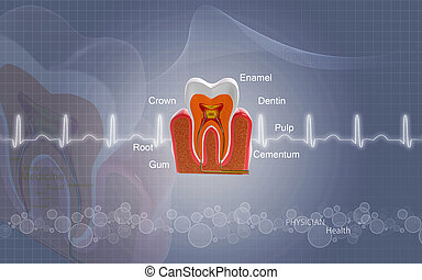 Teeth cross section - Digital illustration of teeth cross...