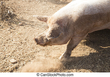 pigs - Biological farm breed free pigs