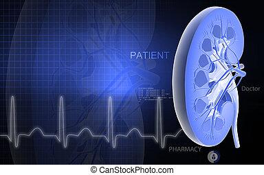 Kidney - Digital illustration of kidney in color background...