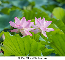 blooming lotus flower over dark background