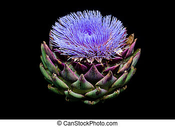 Blooming artichoke on black with clipping path