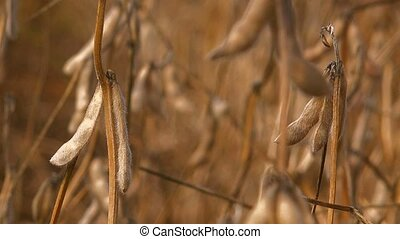 Harvest ready soy bean field - Harvest ready soy bean...