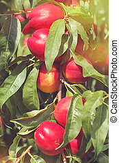 Nectarines on tree - Nectarines ripening on the tree in...