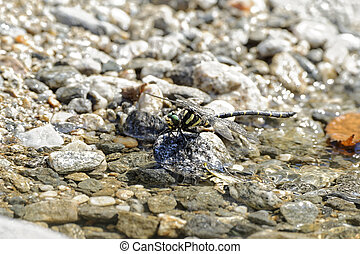 Dragonfly resting - Dragonfly over water on a mountain river