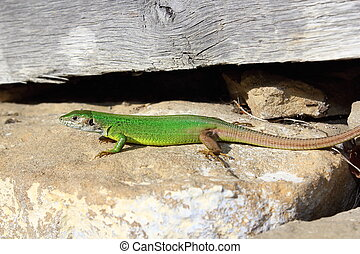 male european green lizard standing on stone foundation of...
