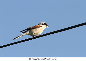 male red backed shrike sitting on wire Lanius collurio