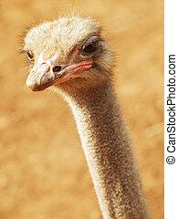 Ostrich close up in Tunisia zoo