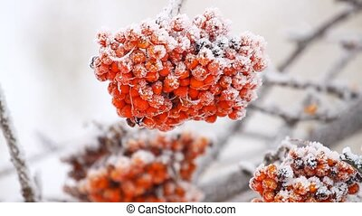 Rowanberry fruit on the snow in winter