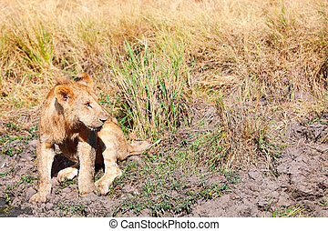 Young lion drinking water, Masai Mara - Young lion drinking...