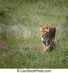 Lioness goes on the field - The lioness goes on the field...