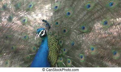 Indian peacock (Pavo cristatus) displays vibrant and...