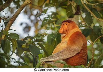 Cute male Proboscis Monkey (Nasalis larvatus) sitting on a...