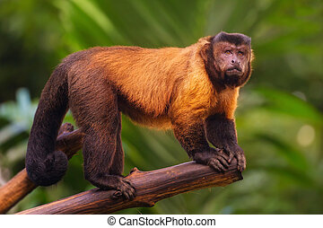 Brown capuchin monkey sitting among the trees