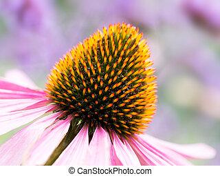 Echinacea, coneflower fiery detail. Brilliant orange and...