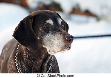 German shorthaired pointer in the snow - A senior female...