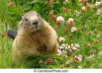 Groundhog in his natural habitat - Cute groundhog happily...