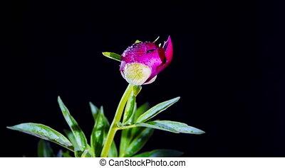 Peony Flowering - timelapse of peony flowering 4K