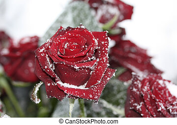solitaire snow rose - A solitaire red rose in the snow