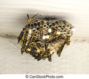 Yellow Jackets Building a Nest Hymenoptera vespidae - Yellow...