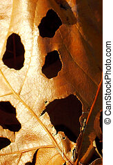 Ghoulish Face in Decaying Leaf - A decaying leaf has the...