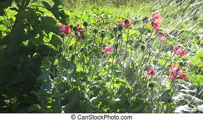 Poppies Danish flag watered on sunny day, 4K