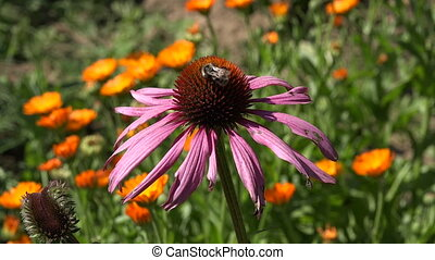 Bee picking pollen from coneflower - Bee picking pollen from...