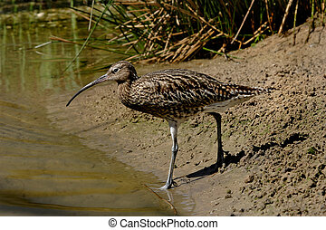 Curlew by the River - A Curlew approaches the river in...