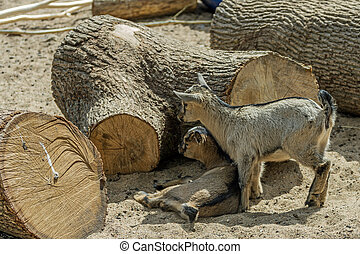 two Small Goat - Small Baby Goat lives in Kaunas zoo garden
