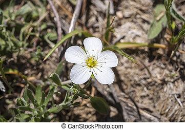 góra, sandwort, Arenaria, Montana,