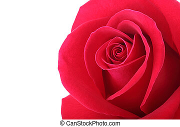 red rose flower with beautiful petals shape heart