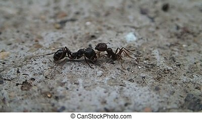 Half ant and ant - A half ant and an ant fighting each other...